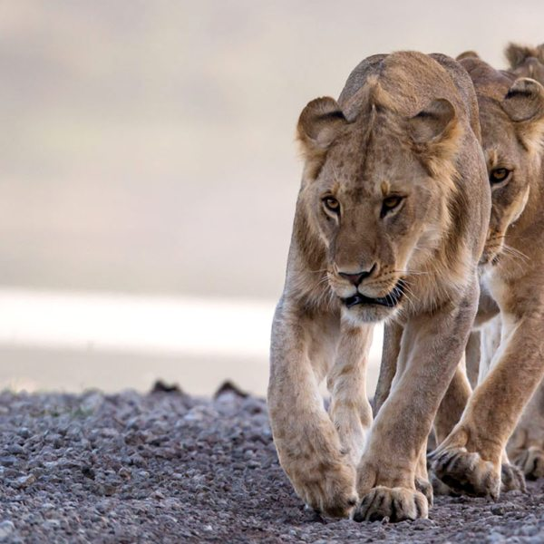These lion near Serengeti Under Canvas look like they mean business. © &Beyond