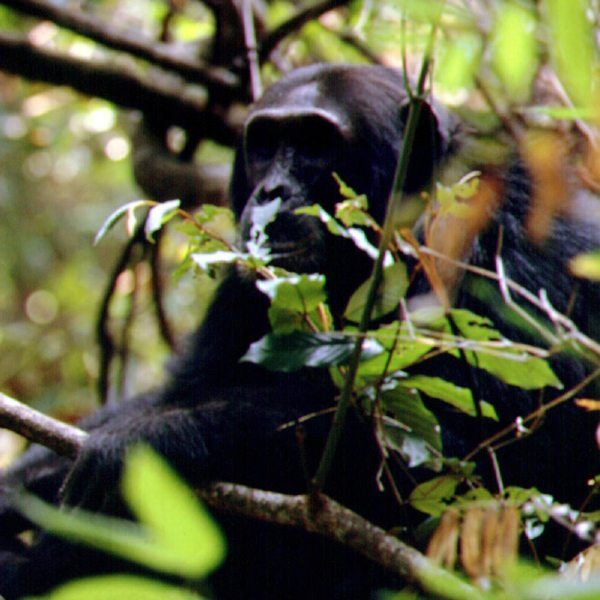 On average, chimps in the Mahale Mountains have a lifespan of 40 to 45 years. © Nomad Tanzania