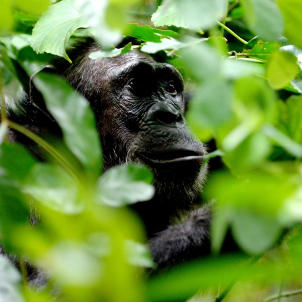When chimp trekking in the Mahale Mountains, you might catch yourself wondering what chimps think about. © Nomad Tanzania