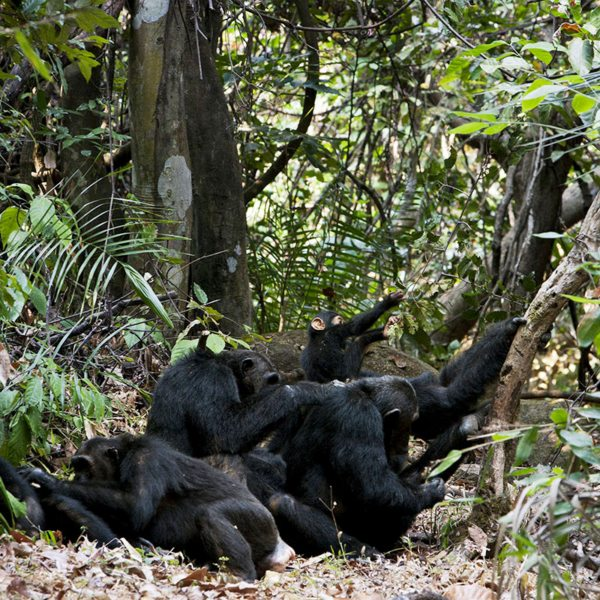 The chimps in Mahale Mountains National Park often groom each other. © Nomad Tanzania