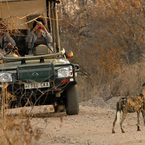 The elusive wild dog can be seen in Ruaha National Park. © Selous Safari Company