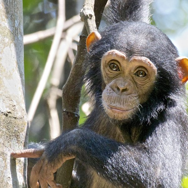 Chimps are born with pale faces, which darken with age.