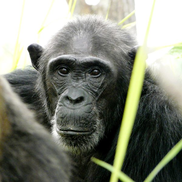 When trekking, see if you can spot older chimps, which have grey backs.