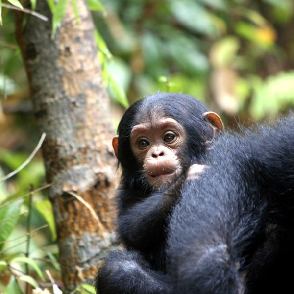 The baby chimps in Mahale Mountains National Park stay close to their mothers until they're about three.