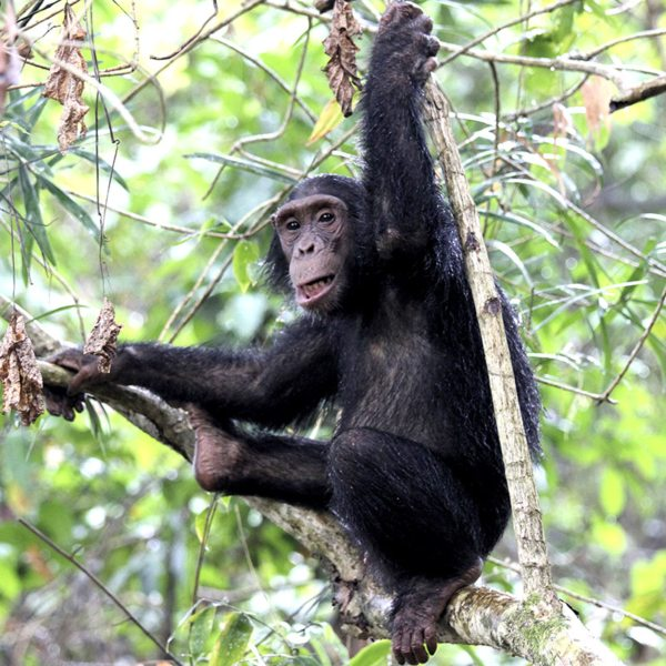 Chimpanzees have thumbs, making it easier to grip onto branches.