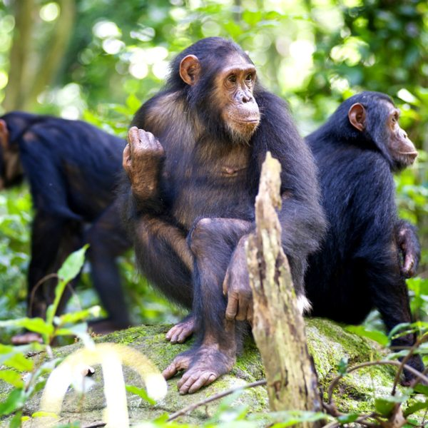 When they're not sleeping, the chimps in Mahale Mountains National Park spend much of their time on the ground.