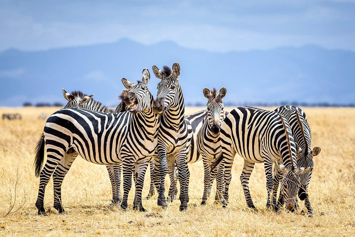 Zebra serengeti safari