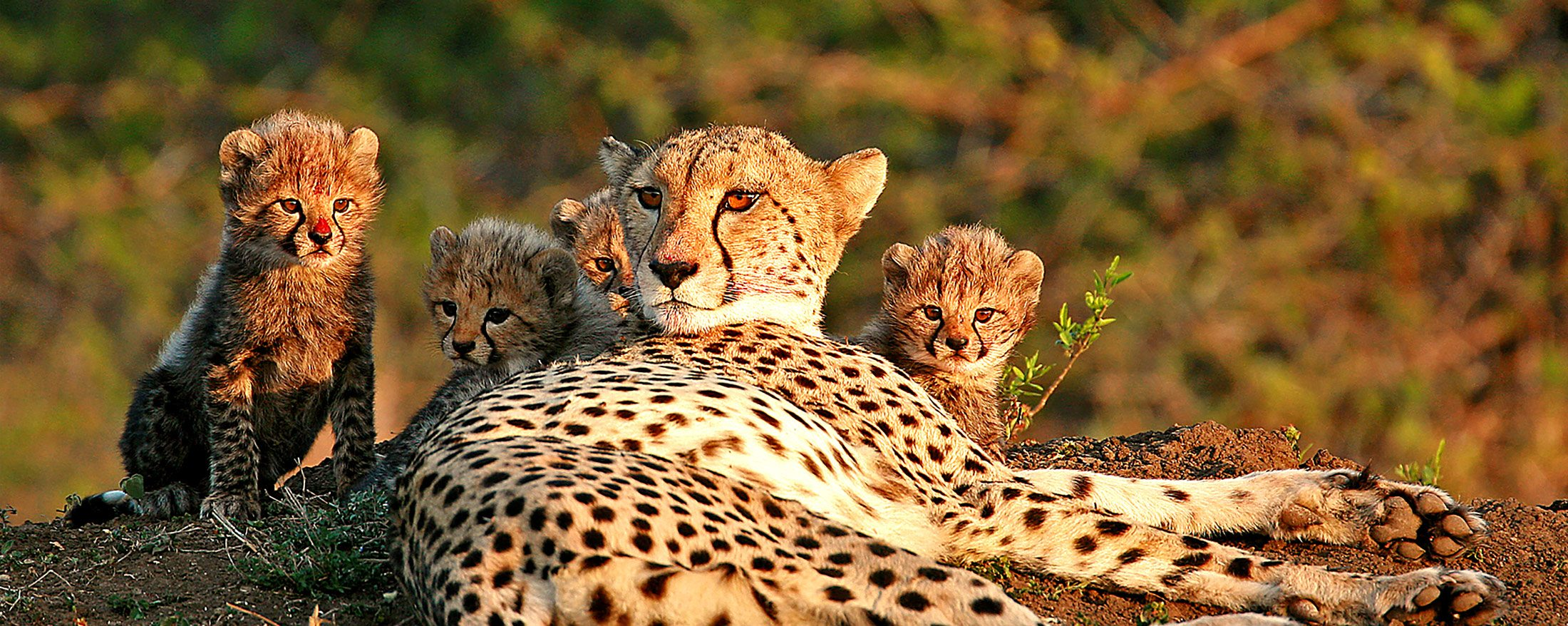 Phinda Vlei Lodge is home to cheetah.