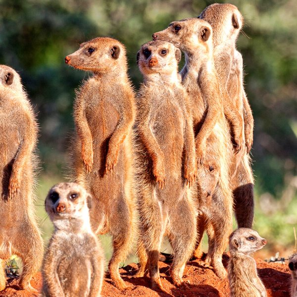 The gregarious meerkat is a favourite on a Kalahari safari.