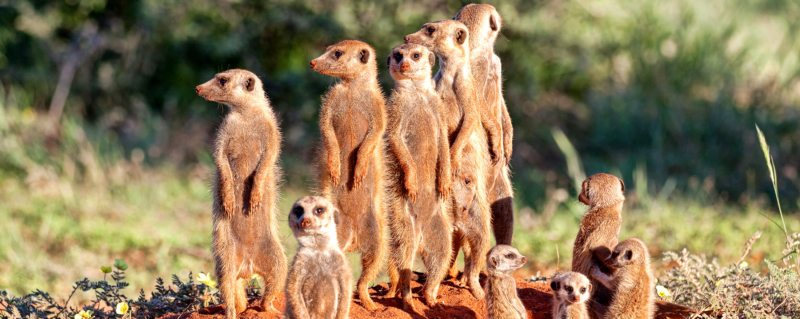 The gregarious meerkat is a favourite on a Kalahari safari.