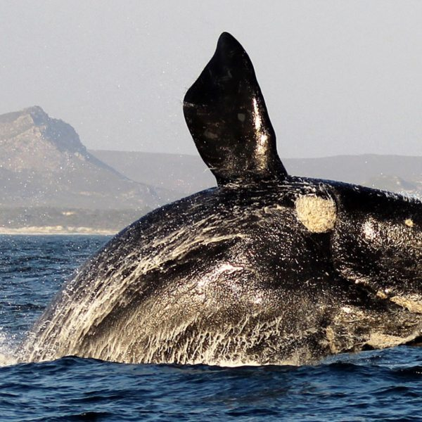 Marine Big Five | When a whale, like this southern right, throws itself out the water, it's called 'breaching'.