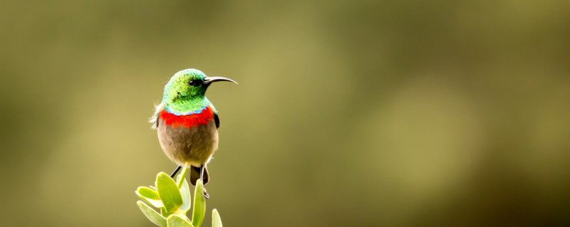 Cape floral kingdom | The southern double-collared sunbird's beak is tailor-made for sipping nectar out of ericas.