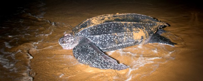 Turtle tracking | This leatherback turtle is pulling herself back to the ocean after laying her eggs.