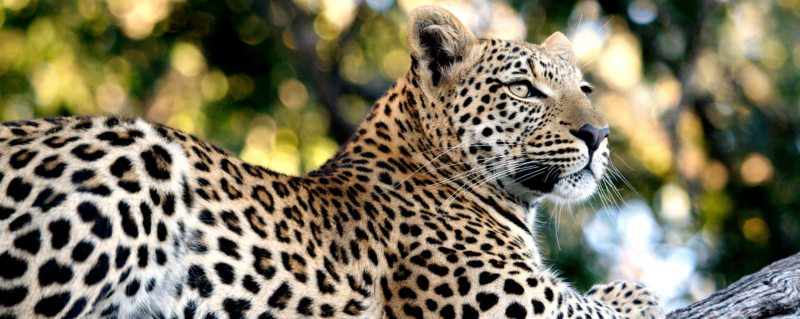 The Greater Kruger is one of the best places in the world for a big cat safari.