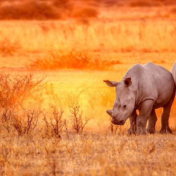 Rhino tracking   The white rhino, found in Phinda Private Game Reserve, is strictly a grazer.