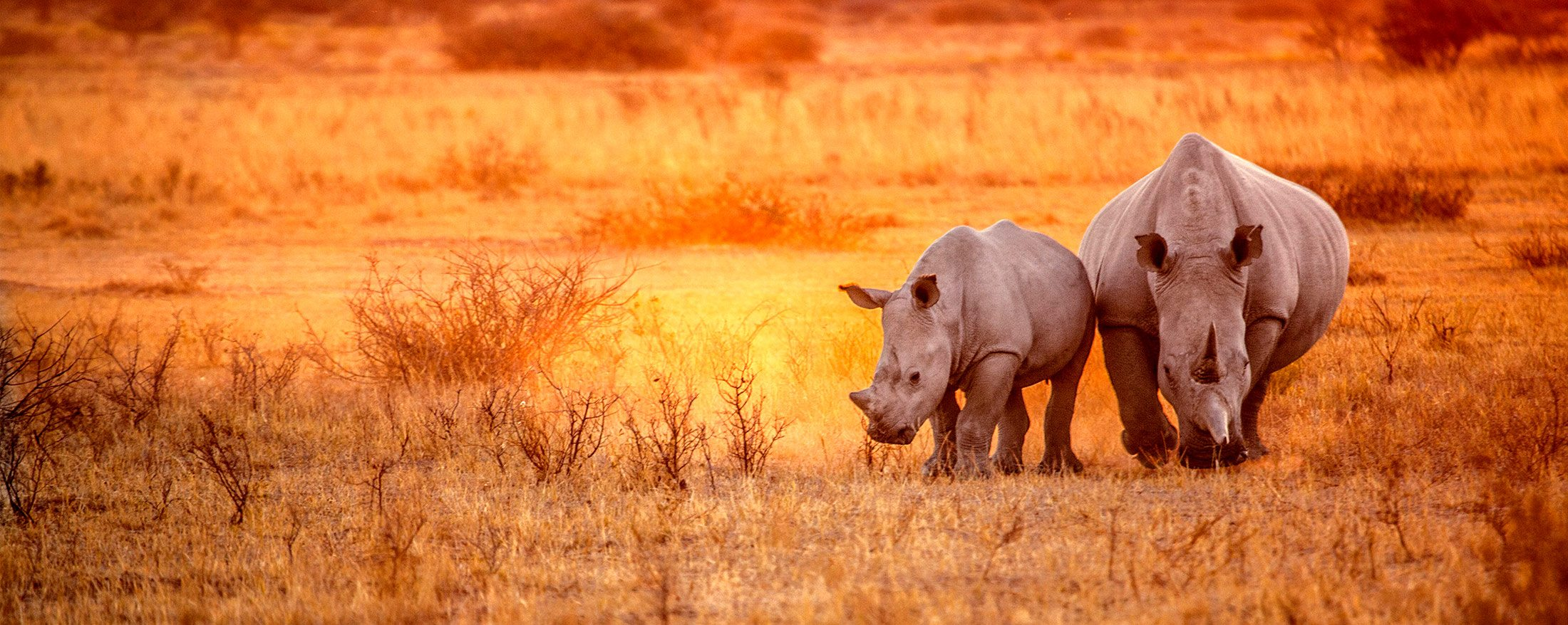 Rhino tracking | The white rhino, found in Phinda Private Game Reserve, is strictly a grazer.