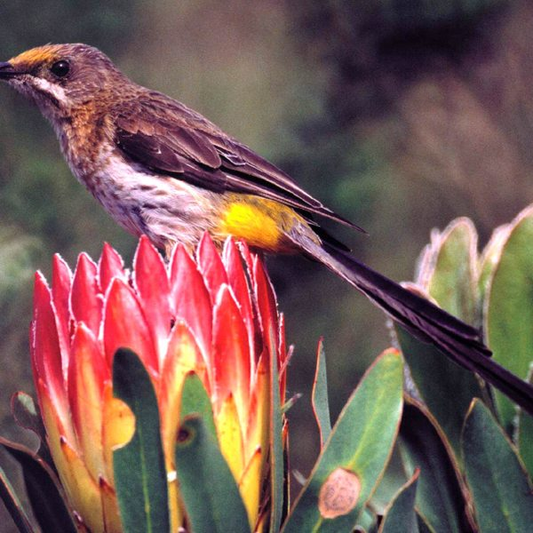 The Cape sugarbird is one of the six bird species endemic to the fynbos biome of Grootbos Private Nature Reserve. © Grootbos Accommodation Enterprises