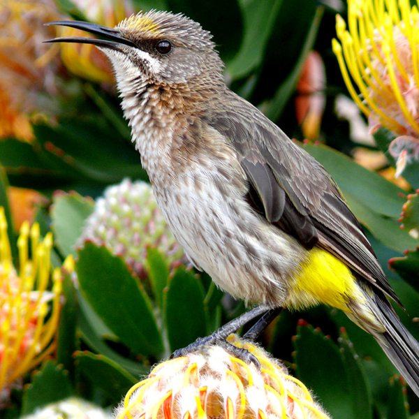 Look out for the famed Cape sugarbird at Grootbos Private Nature Reserve. © Grootbos Accommodation Enterprises