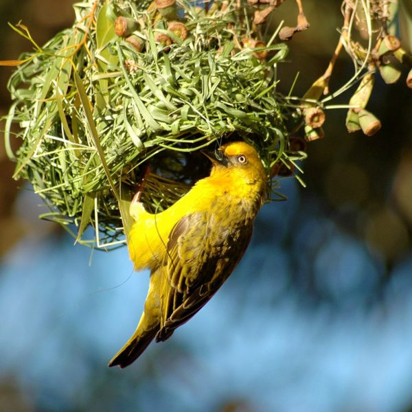 The common weaver gets its name from the way it weaves its nest. © Grootbos Accommodation Enterprises