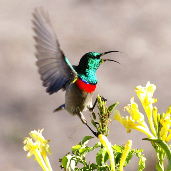 Sunbirds brighten up the landscape at Grootbos Private Nature Reserve. © Grootbos Accommodation Enterprises