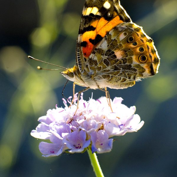 Pretty butterflies are attracted to the fynbos at Grootbos Private Nature Reserve. © Red Carnation Hotels