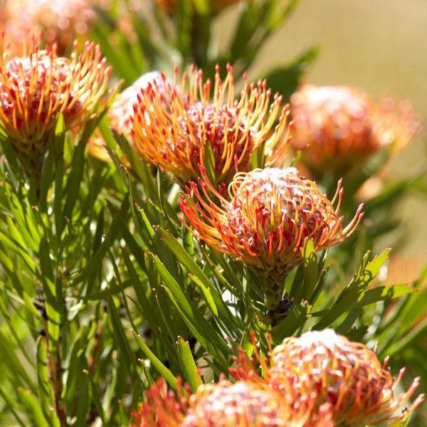 Pincushion proteas are easily recognisable at Grootbos Private Nature Reserve. © Red Carnation Hotels