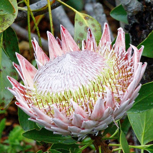 The king protea, found at Grootbos Private Nature Reserve, is South Africa's national flower.