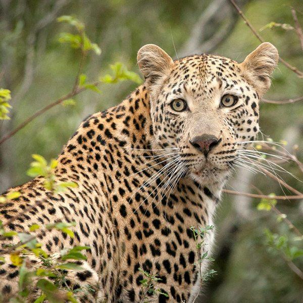 The elusive leopard often hides among the bushes. © Londolozi