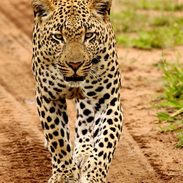 When you get close to big cats in the wild, you'll feel their power. © Londolozi