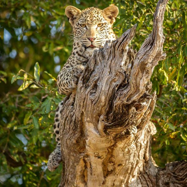 Leopard are often found in trees in the Greater Kruger. © Londolozi