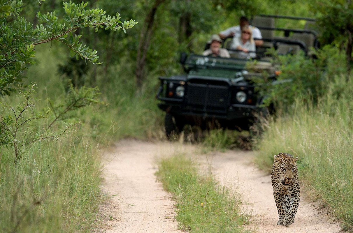 experience a big cat safari in south africa | art of safari