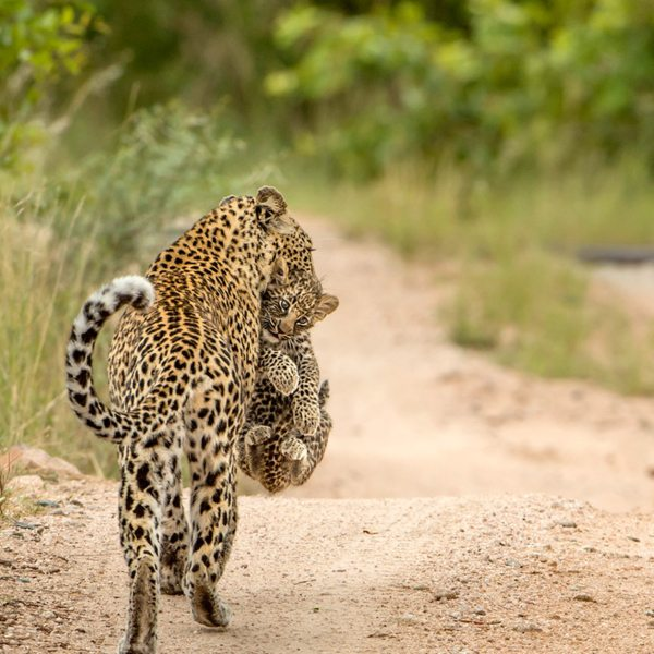 What a sighting – a leopard carrying her babe in the Great Kruger. © Singita