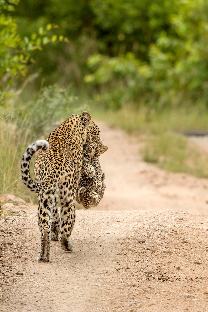 experience a big cat safari in south africa | art of safari