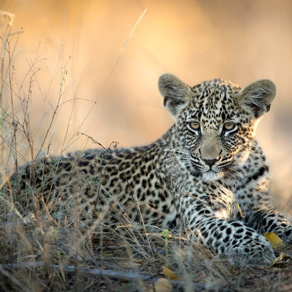 Leopard aren't born with their spots, they appear as they mature. © Singita
