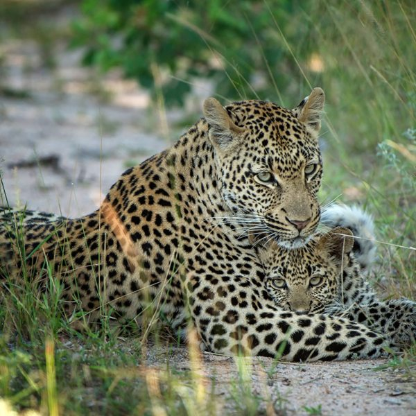 Seeing a leopard in the wild with her cub is awe-inspiring. © Singita