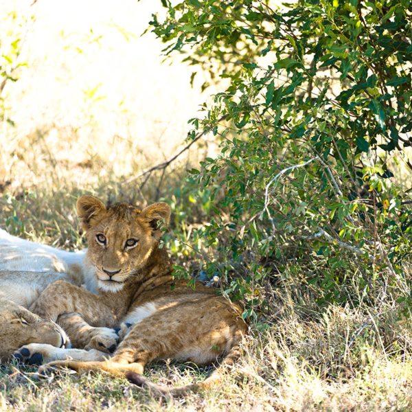 Like domestic cats, lion also like to cuddle. © Singita