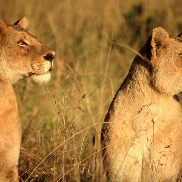 These beauties have noticed something of interest in the bush. © &Beyond