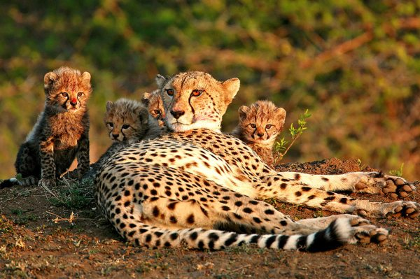 Phinda Private Game Reserve is home to cheetah. © &Beyond