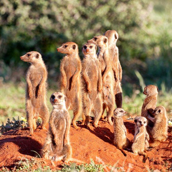 The gregarious meerkat is a favourite in the Kalahari. © Tswalu Kalahari