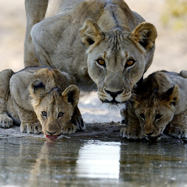 This lioness keeps a watchful eye on the surrounds while her and the cubs drink. © Anton Musgrave