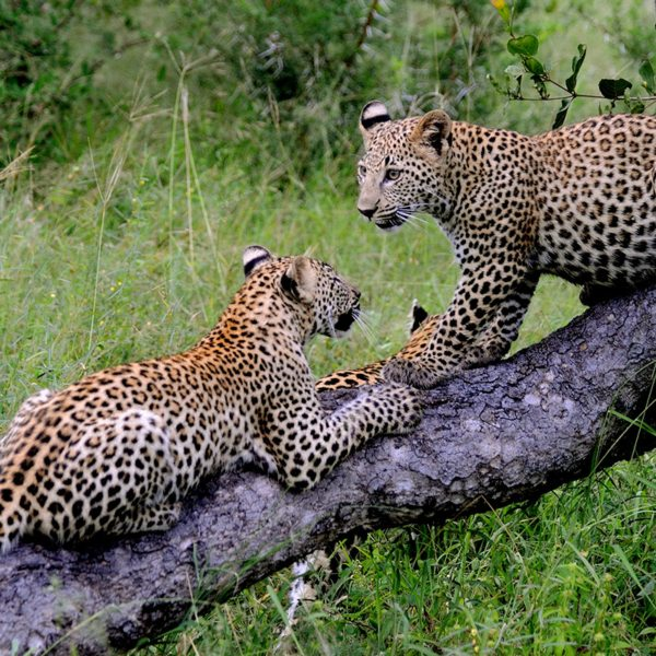 Leopard have no trouble balancing in trees. © Anton Musgrave