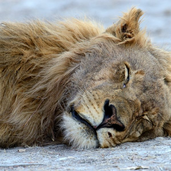 Male lion sleep about 20 hours per day. © Anton Musgrave