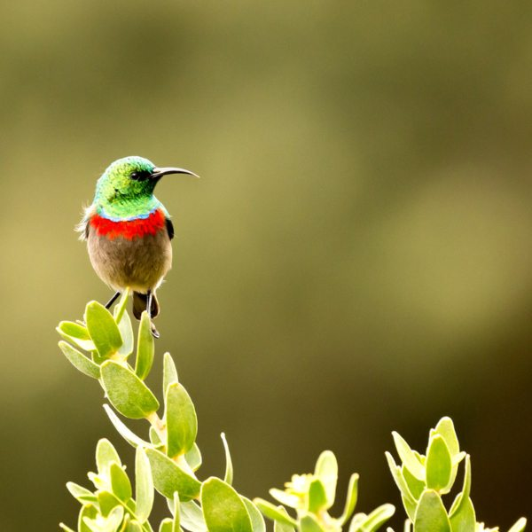 The southern double-collared sunbird's beak is tailor-made for sipping nectar out of ericas.