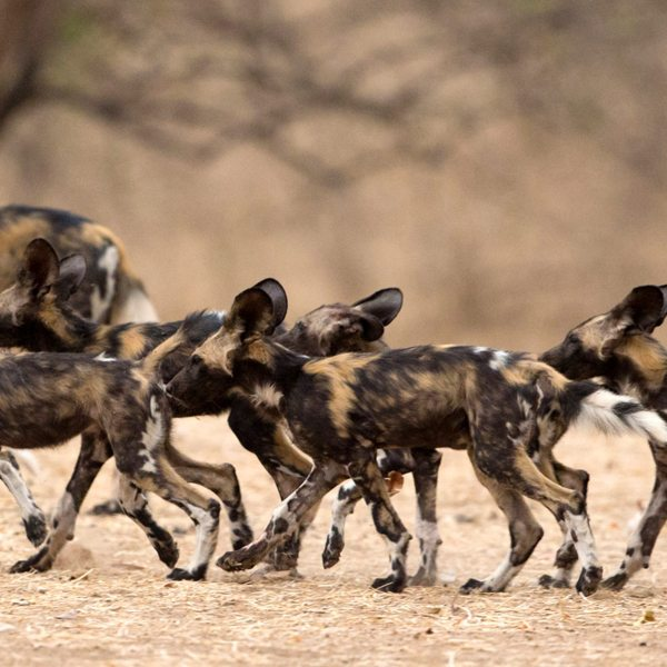 Southern Tanzania is home to the endangered wild dog.