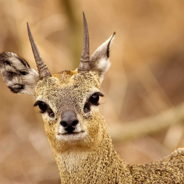 Look out for klipspringer in the Waterberg.