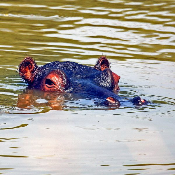 Hippo can be found in the Waterberg.
