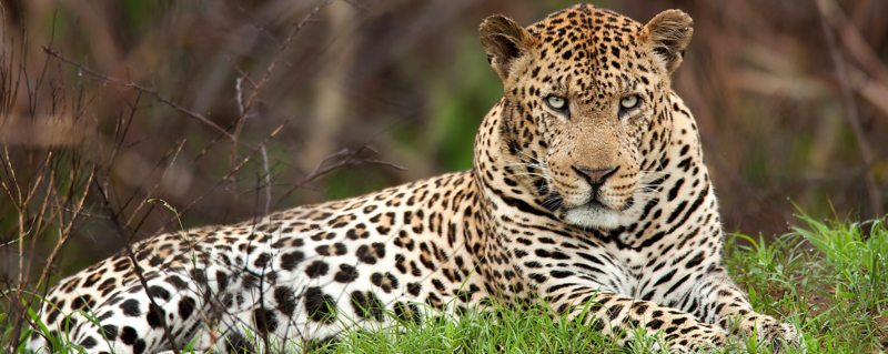 It's possible to stumble across leopard during game drives in Phinda Private Game Reserve.