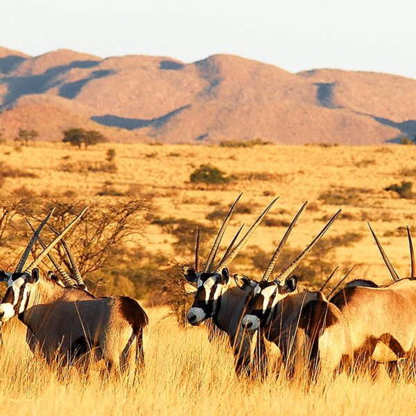 The majestic oryx (or gemsbok) can be found in the arid Kalahari.