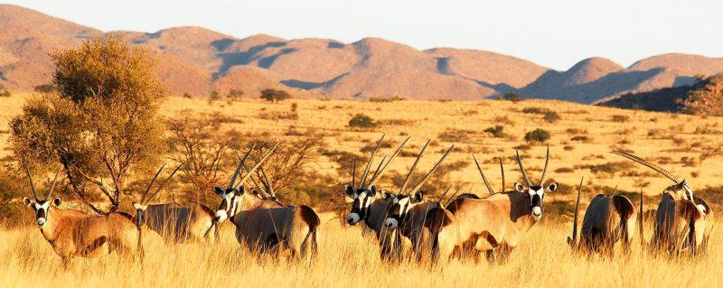 Tswalu The Motse | The majestic oryx (or gemsbok) can be found in the arid Kalahari.