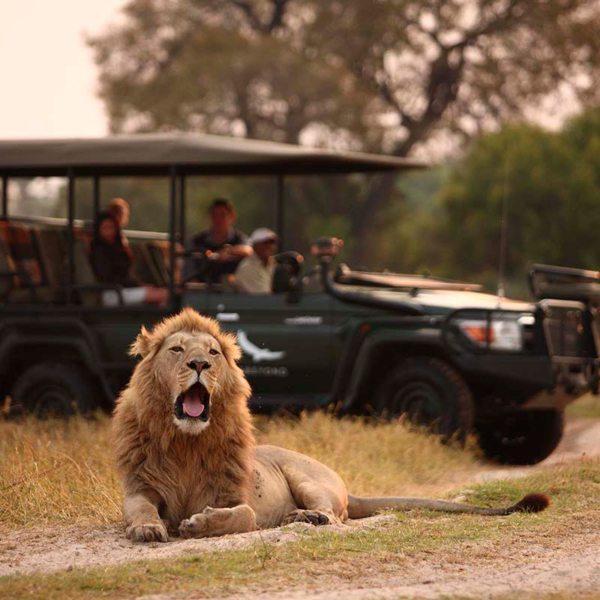 Keep an eye out for big cats on your game drives from Sandibe Okavango Safari Lodge. © &Beyond